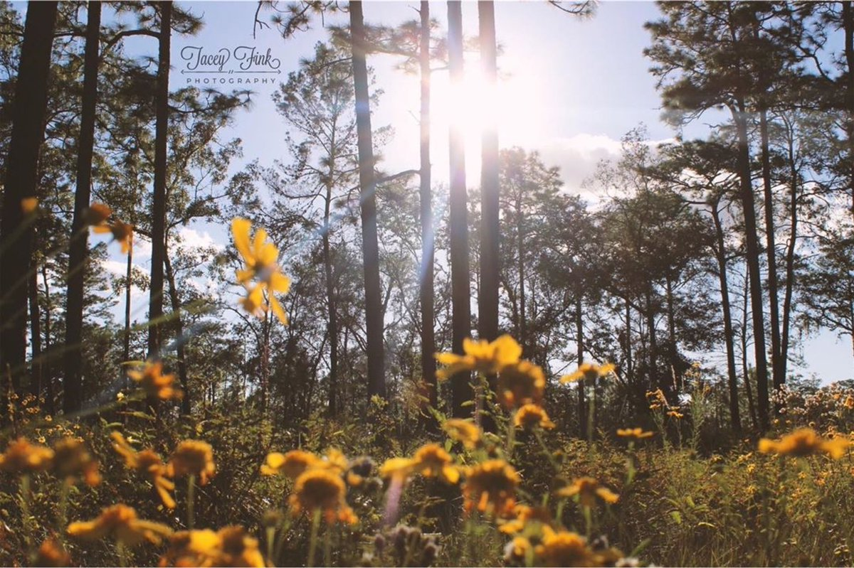 Fall is in the air! Shout out to @tacey_fink_photography for taking such a great photo!  ・・・ #splendid_woodlands #forest #trees #fallcolors #falltime #sunrays #sunshine #sunset #wekiwaspringsstatepark #unlimitedsunset #flstateparks #master_gallery #floridastateparks