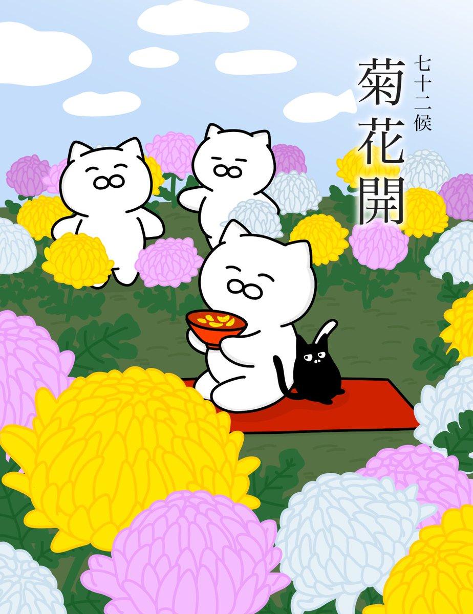 【菊花開】 (きくのはなひらく)  菊の花が美しく咲くころ。七十二候のひとつで二十四節気の寒露の次候にあたる。10月14日~10月18日ごろ。#七十二候