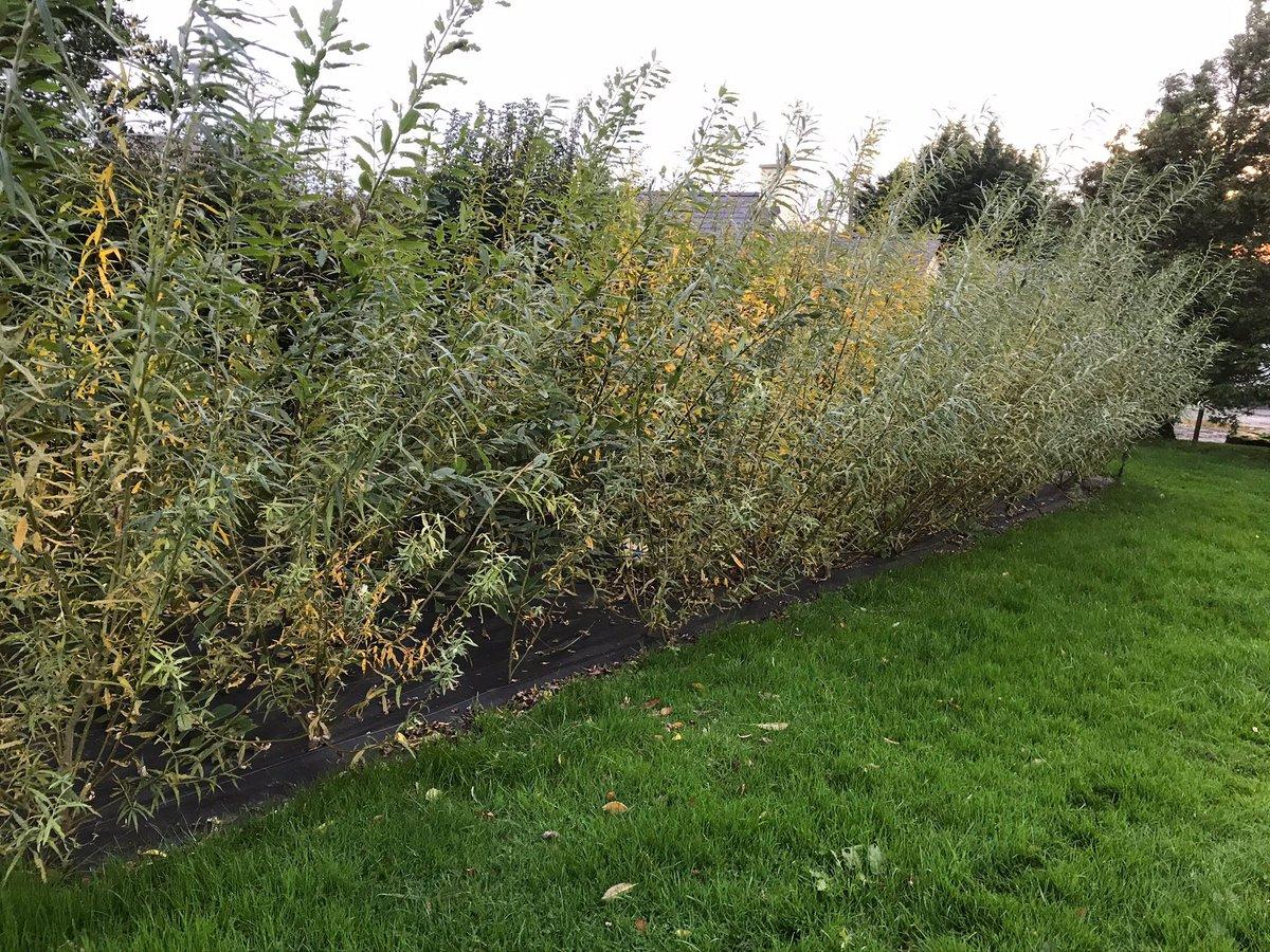 Purple Catkins Salix koriyanagi Rare and unusual Willow