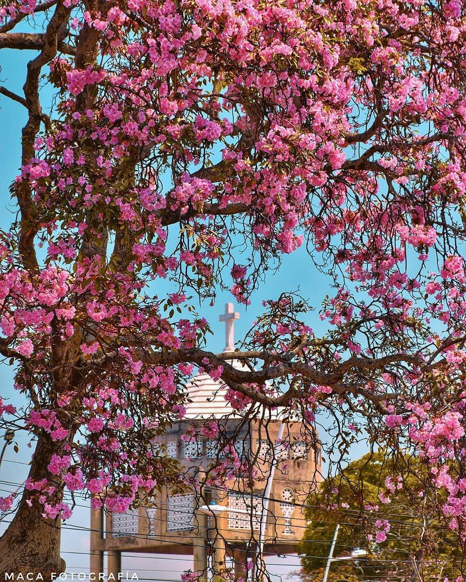 #CaliCo Tabebuia Rosea 🌸🌸 más conocido como GUAYACAN ROSADO al fondo la cúpula de la Iglesia el Template. Foto: Maca Fotografía