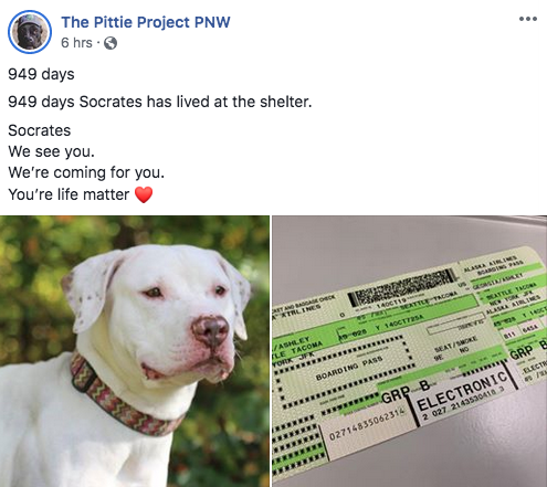 The Pittie Project PNW is flying to #NY to rescue SOCRATES 🐾❤️  waiting 949 days at Hempstead Shelter  @reddogsusie @leighjalland @Indigo_Pho13 @msmorgan1968 @WinglessBird_ @SandraK93322487 @EMluvsPibbles @samjarvis49 @Barbann56 @Rehflocke @for_pittys @Gailmike101 @rollca49