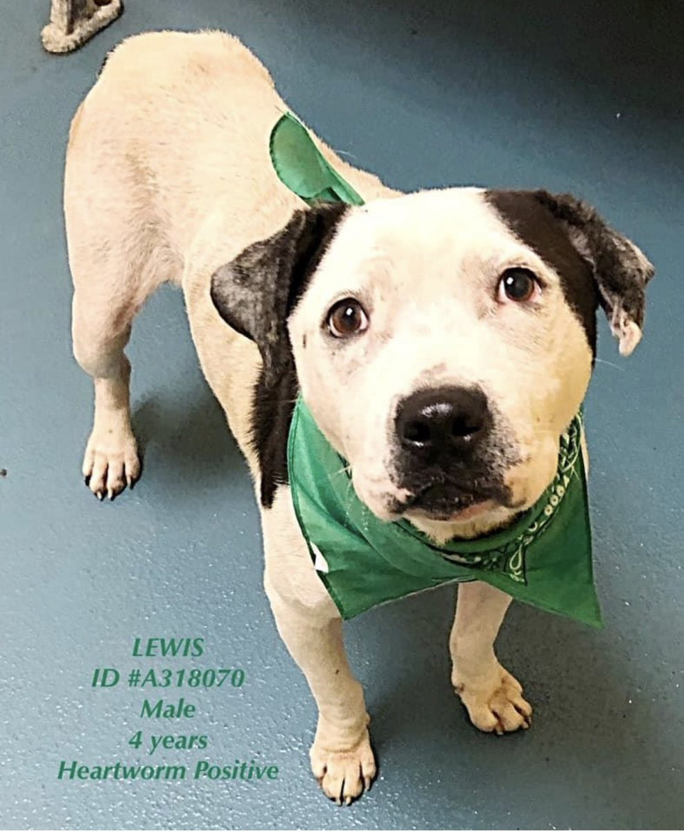 #TN #MEMPHIS 🆘🆘CODE RED Lewis 4yo hw+ The sweetest sad boy who has had a hard life-neglected & living on a chain💔Despite this he's the sweetest fella who adores ppl & fuss-Desperate 4love & a home! Pls #ADOPT #PLEDGE #RESCUE #FOSTER #A318070 EUTH LISTED https://www.facebook.com/1821648241480376/posts/2329731840672011?sfns=mo …