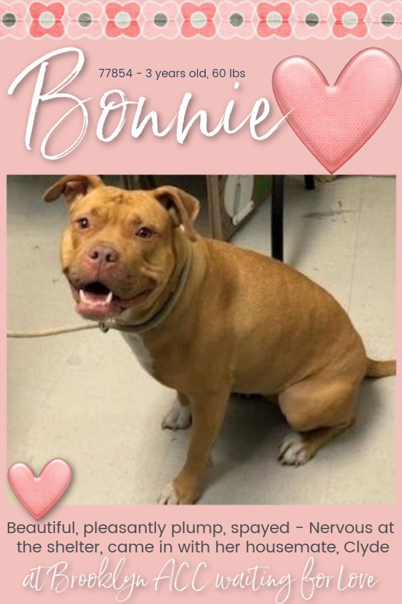 DOG LOVERS: BONNIE, 3, adm stray w/bonded bro CLYDE, both AT RISK TUES, 12N, #nycacc, NH! BONNIE has been afraid, but responds well to slow petting💕. Wish they could be SAVED TOGETHER! PLS #foster or #adopt BONNIE, or BOTH! Get asst: DM http://FACEBOOK.com/mldsavingnycdogs … CONT⬇️#RT #share