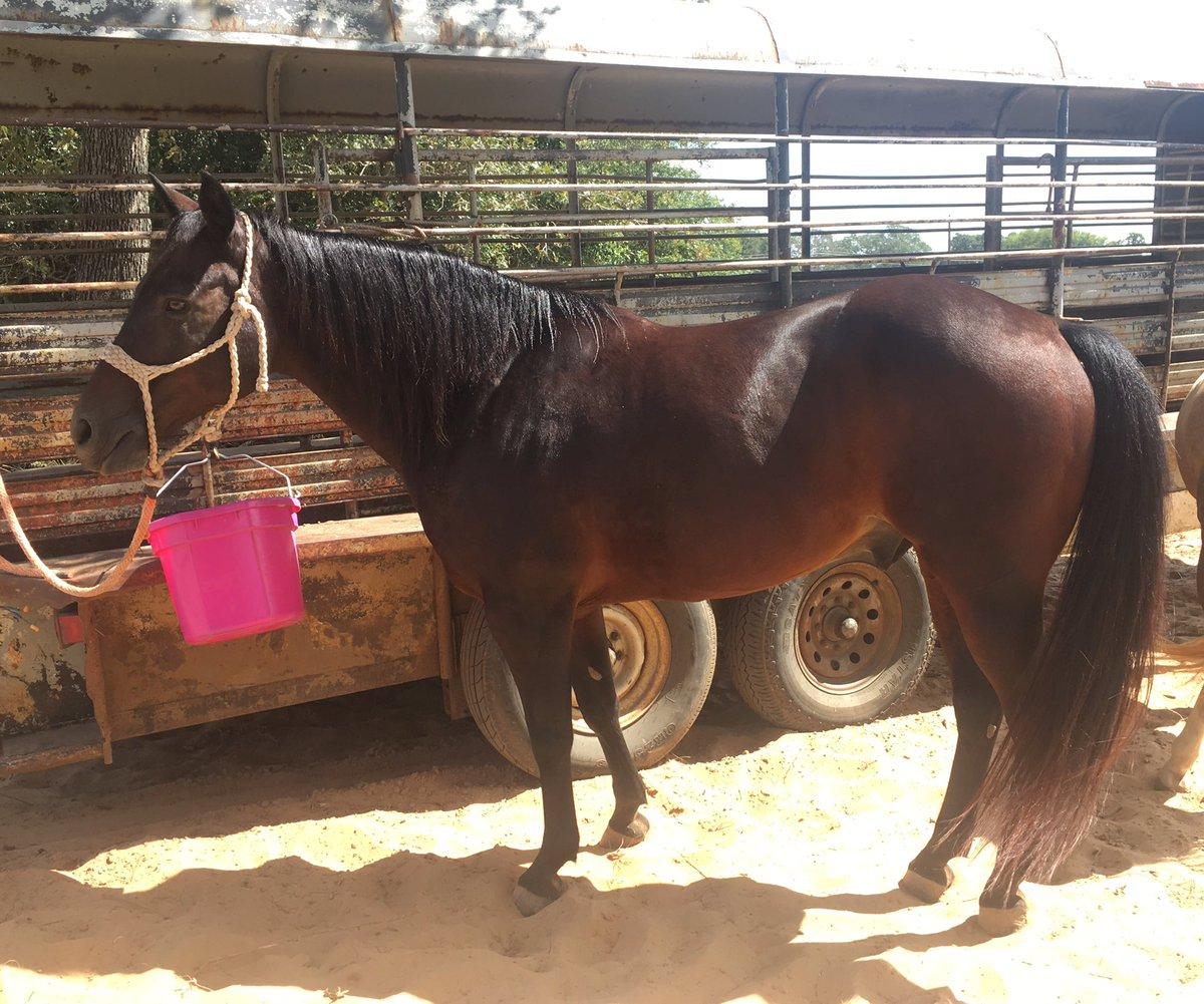 Wicked heel horse for sale. Big stopper!!! https://www.doublebranchhorses.com/slick #heelhorse #heelhorseforsale #ropehorse #ropehorseforsale #doublebranch #doublebranchhorses #rodeo #roping #jackpot #slick #horse #horseforsale #texas #horsesintexas #horsesforsaleintexaspic.twitter.com/XGFchtjdIs