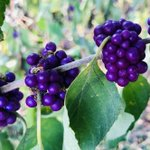 "New #research on #acne from #QuaveLab published in Frontiers in Pharmacology: ""Growth Inhibitory Activity of Callicarpa americana Leaf Extracts Against Cutibacterium acnes""  Read & share here: https://t.co/FfC6n6umTa  #acne #beautyberry #herb #skincare #dermatology #pharmacognosy"