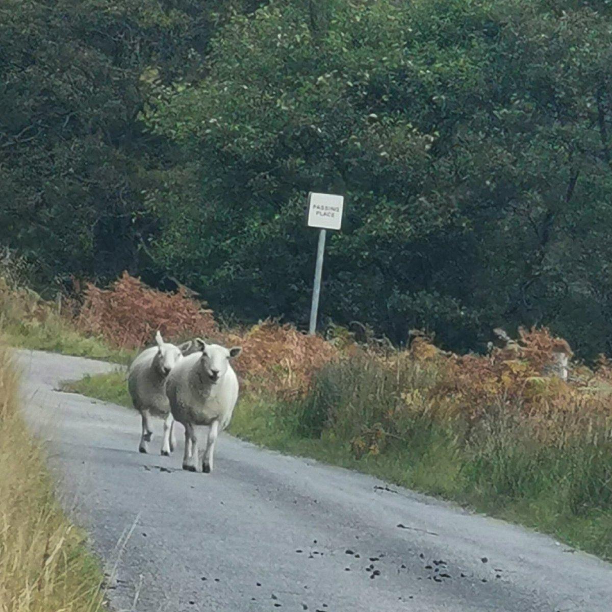 #roadhogs #Highlands #sheep #LoveWhereYouLive 😂🐑