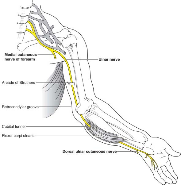 "Hi y'all, I'd like to talk to you about your ulnar nerve! What's the ulnar nerve, you say? It's a long nerve that runs from your neck, through your elbow, ending at your ring and pinky fingers! It's what you hit when you hit your ""funny bone!""  [image:  https:// nerve-injury.com/ulnar-nerve/     ]<br>http://pic.twitter.com/foyG3gxdh2"