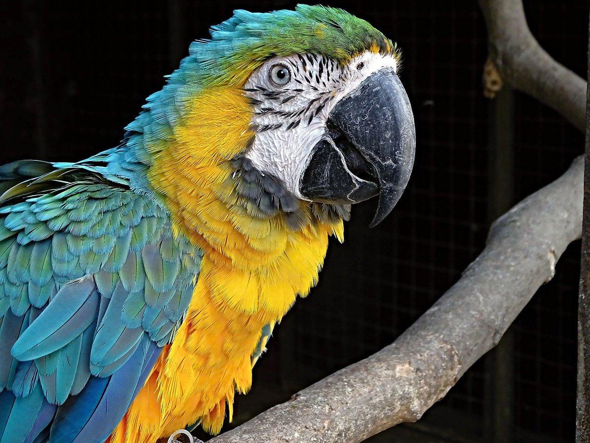 C'est un perroquet du genre Ara facilement reconnaissable aux couleurs de son plumage  - - #adorable #animauxsauvages #animauxmignons #ara #perroquet