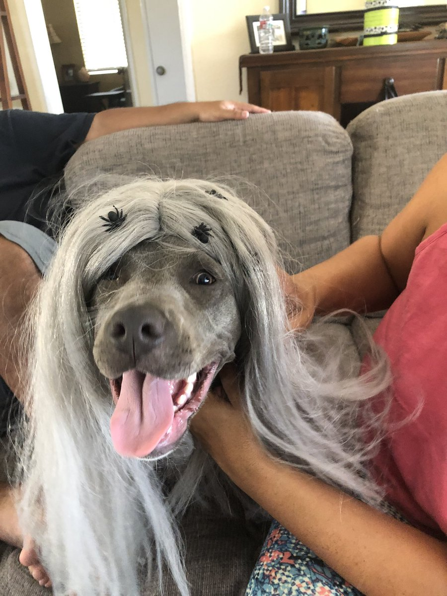 my dogs in wigs