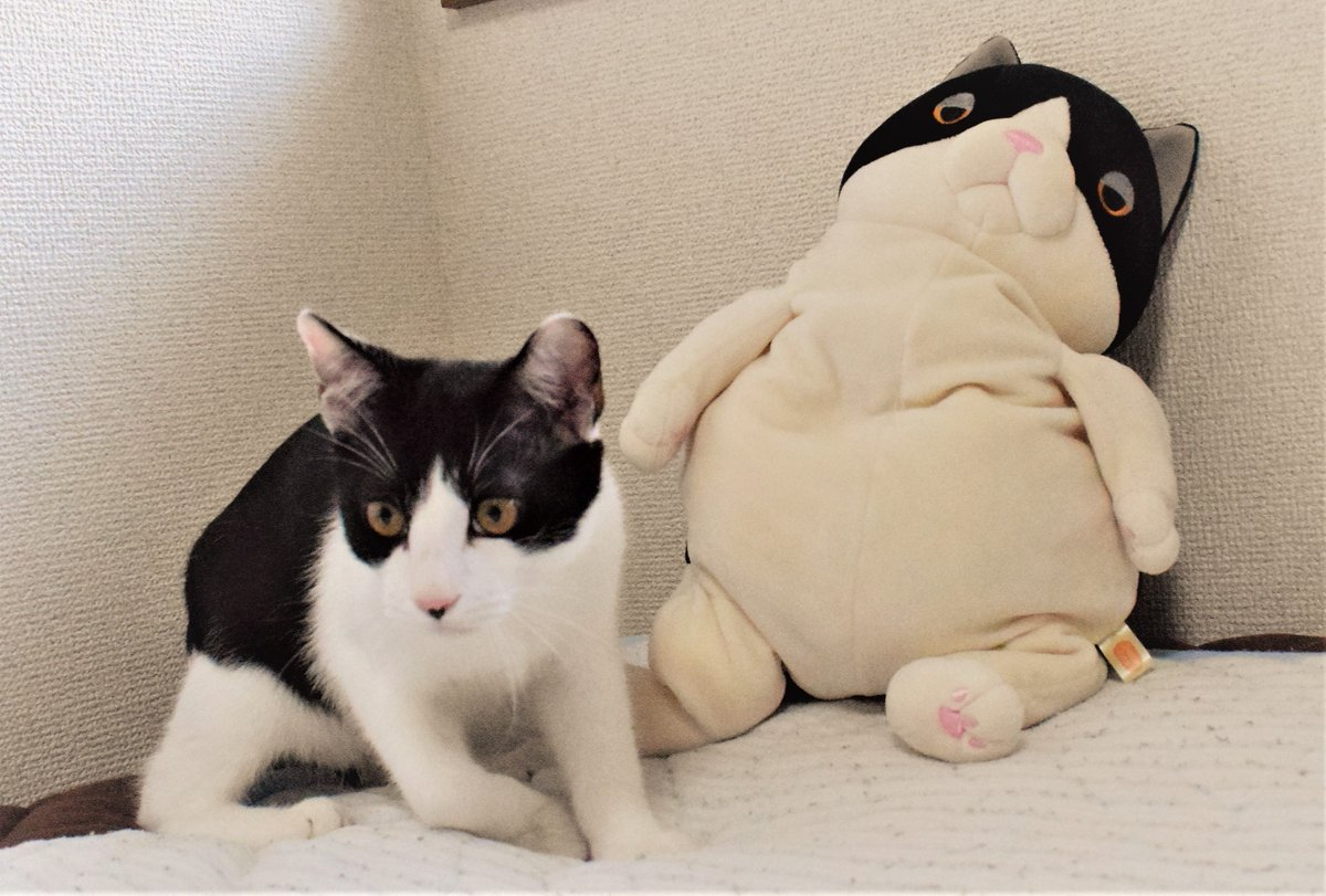 チームハチワレ  今更ですけど10.14の新日本の試合良かったー オスプレイ対ELPの後ヒロム乱入とか考えてたけど、無かったのは残念。個人的ベストバウトはライガーみのる 11.3DDTに参戦予定 #ネコ #ねこ #cat #猫 #もちねこ #ダリル #プロレス #njpw