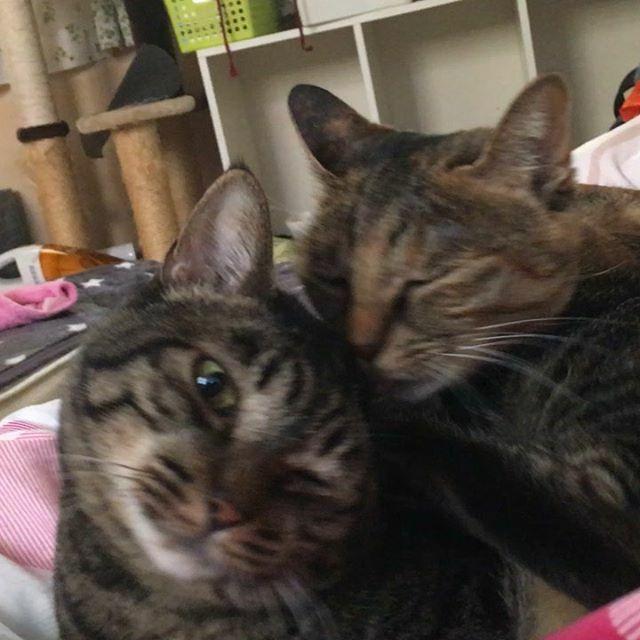 のぞみといろり いたわりあうのは良いけど、寝ている僕の腹の上でするのは勘弁して欲しい。 #cat #猫 #貓 #katt #кошка #мушук #Mèo #ネコ #ねこと暮らす https://ift.tt/32kKjs9