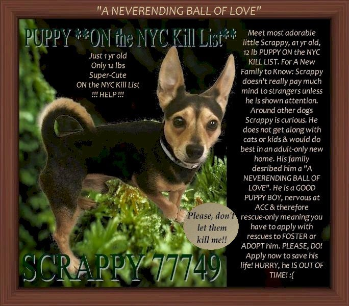 """SCRAPPY ID 77749 #NYC ACC 2 KILL 10/17 NEEDS RESCUE 1 YR OLD TIMID AT FIRST FAMILY SAID: HE IS A """"NEVER ENDING BALL OF LOVE"""" DID NOT GET ALONG W/CAT/SMALL KIDS HOUSETRAINED RESCUES NEED FOSTER/ADOPTER FOSTERING FREE/TEMP GUIDANCE  https://www. facebook.com/mldsavingnycdo gs/photos/a.745242932328646/1093304144189188/?type=3&theater  …  MustlovedogsNYC@gmail.com<br>http://pic.twitter.com/Hwf9H6jWfJ"""