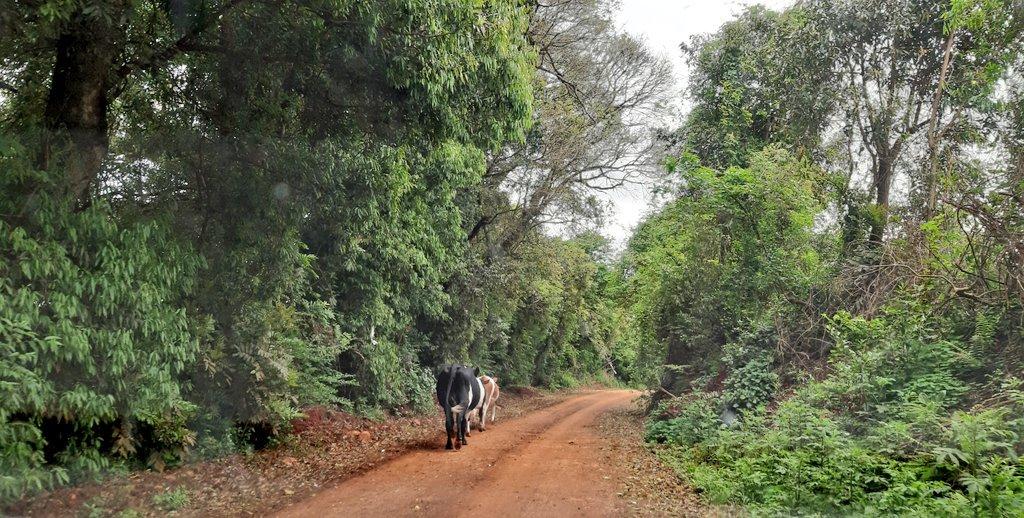 Andando e fotografando por aí! #Marau #fotos #RioGrandedosul #estrada #natureza #vacas #beleza #pictures #nature #road  #animals #cow #beauty #natureza_Brasil #natureza_perfeita #natureza_linda #love