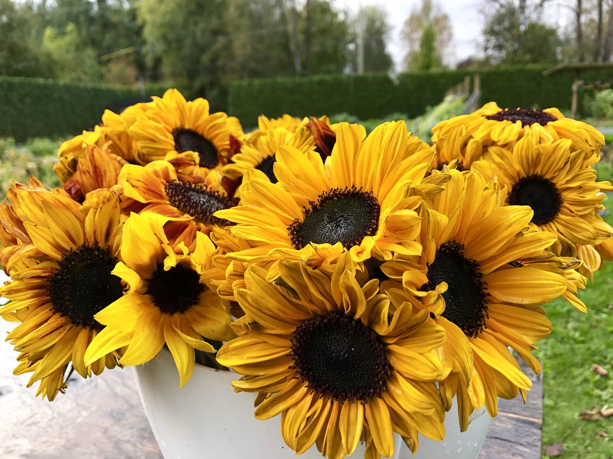 Managed to put together some #sunflower bouquets before the rain hit. I thought they were all ruined by the rain, but a few sunny days and voila! In the #farmstand now.   #farmdirect #freshcutflowers #flowers #smallfarm #local #natural #mapleridge #buybc #bcbuylocal #bcfarmfresh https://t.co/Y2GVmzULoe