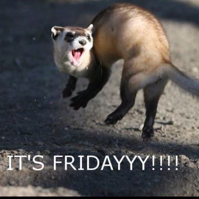RICHIE: Oh baby, its finally #Friday! As a bonus, its #WorldAnimalDay! So, say hello to the Friday Ferret!