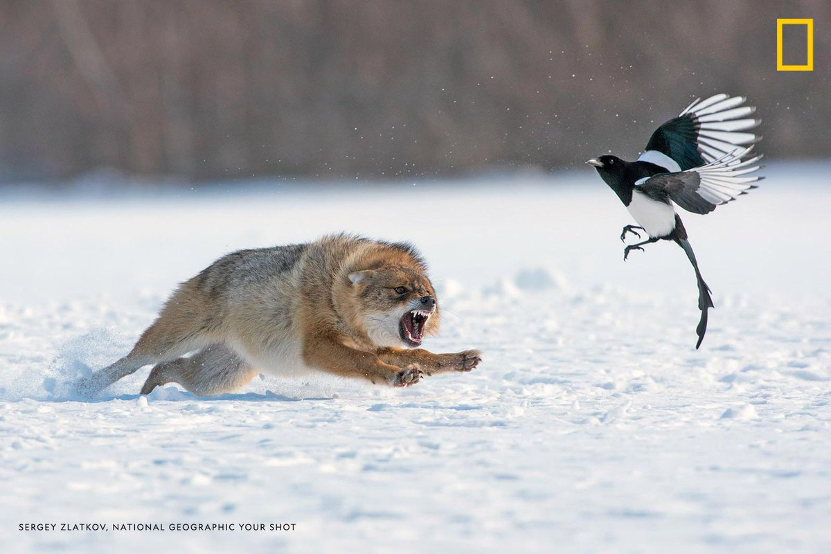 A European jackal dives at a Eurasian magpie who got too close to the jackal's recent catch. #YourShotPhotographer Sergey Zlatkov was documenting the jackal from a far distance and captured this moment using a telephoto lens. https://on.natgeo.com/2Vk8WT9