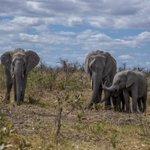 Image for the Tweet beginning: Happy Saturday! Elephants in Kruger
