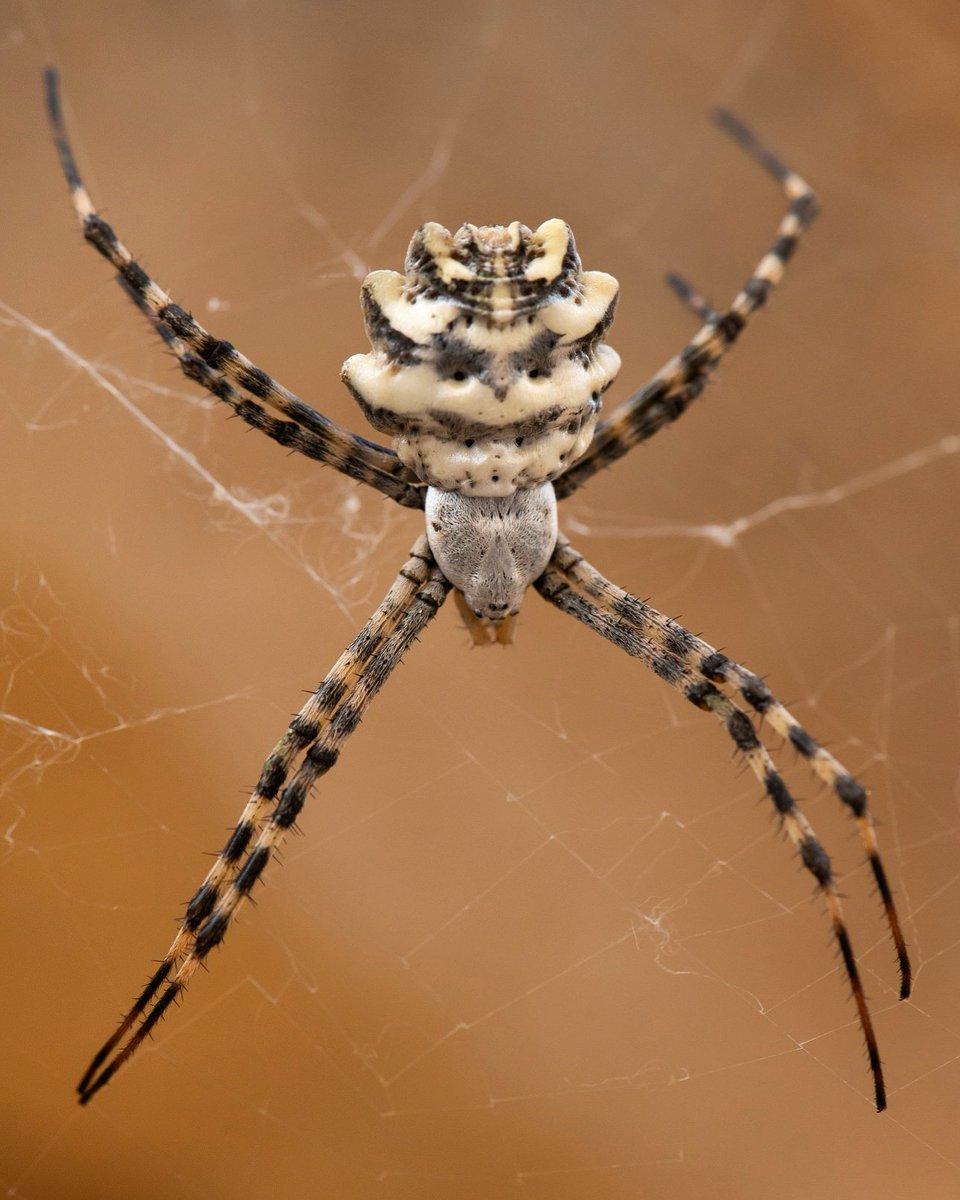 паук аргиопа лобата фото и описание спуск горы