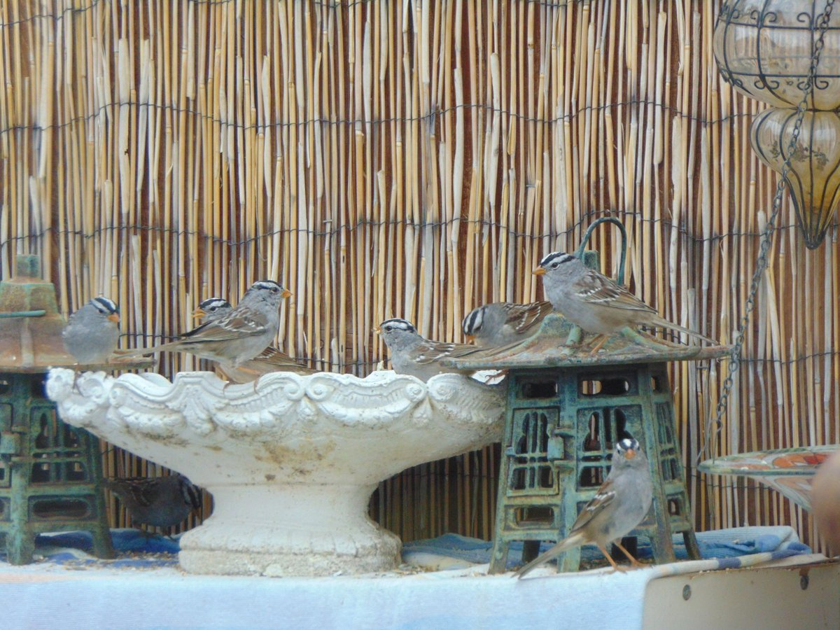 Ah ha! White Crowned Sparrows have returned for their Season here. Groceries at kels house. They return to U.S. from Southern Mexico--usually at Thanksgiving. They are early this year by about 50 days. They go back about Easter. The Herbn Gardener😇