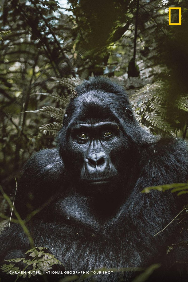 """""""Despite it only lasting a split-second, this eye-to-eye moment with an alpha male gorilla in Uganda is a memory I shall cherish for the rest of my life,"""" writes #YourShotPhotographer Carmer Huter. https://on.natgeo.com/2oX6tlm"""