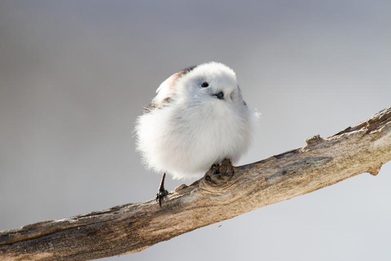 【シマエナガの眠り方】 北海道にのみ生息しており 「雪の妖精」と呼ばれるシマエナガ。 繁殖期以外は、ねぐらとなる木の枝に 並んで小さなからだを寄せ合って 集団で眠る習性があります。