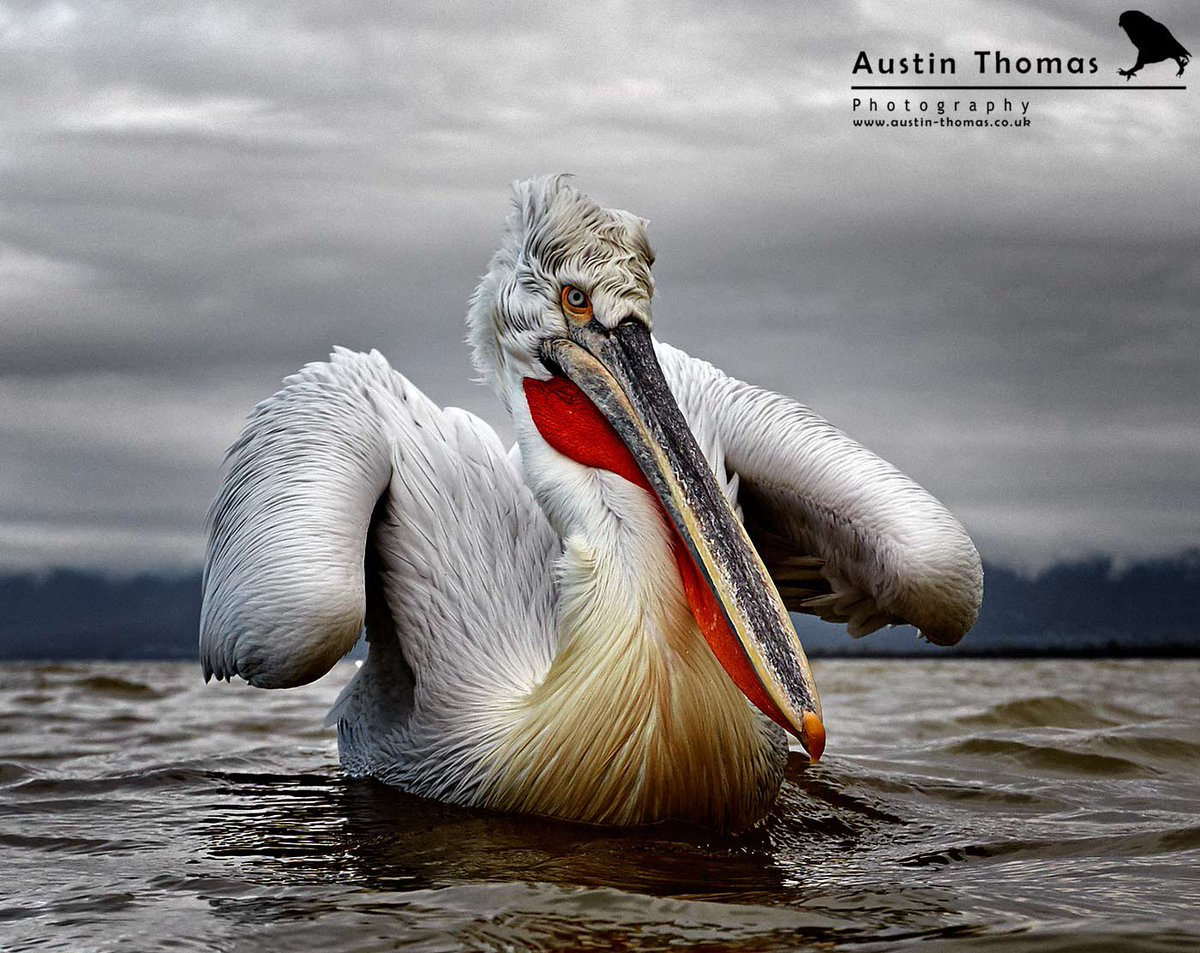 A wide angle Dalmatian Pelican anyone? Enjoy your evening and the week ahead... #wideanglewildlife #pelican