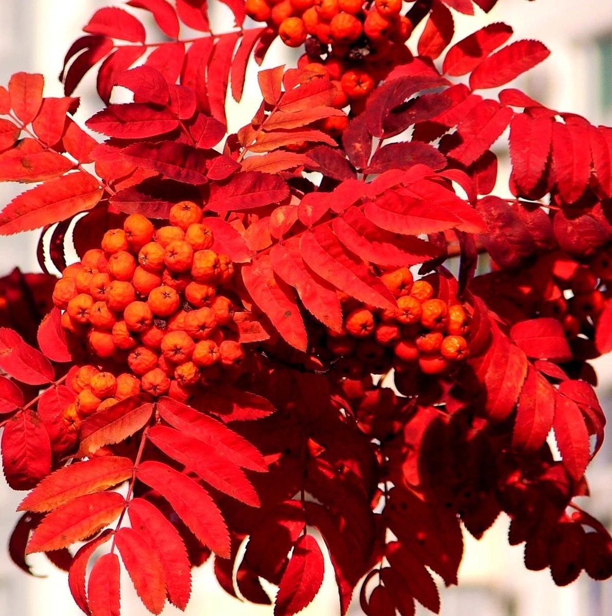 чесоткой картинки осенняя листва рябина для крепления