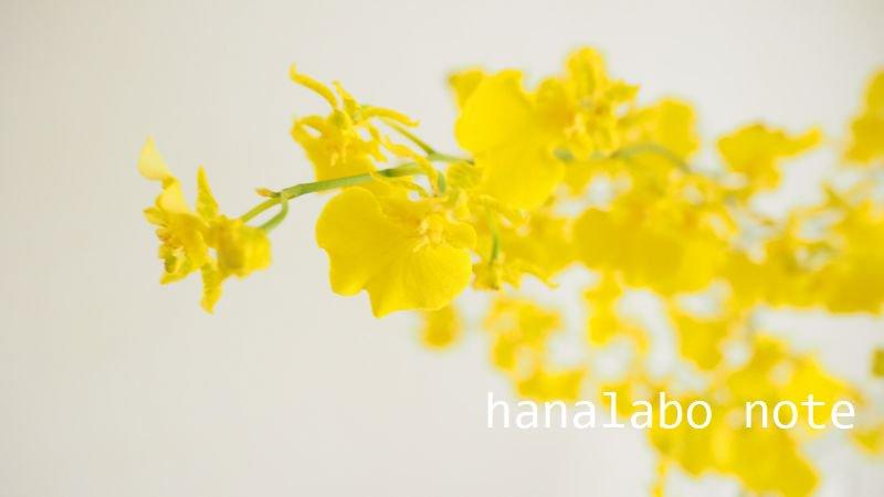 【お花屋さんの切花図鑑】  ●オンシジューム  蝶々のような細かい花が特徴のラン。アレンジがぱっと明るくなる鮮やかな黄色。  最近は、ピンクや茶色系など個性的な品種もふえてきました。芳香がある品種も。  #切花図鑑 https://t.co/5GcNXirnoj