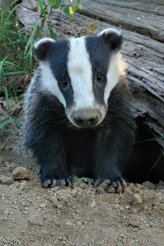 Its #nationalbadgerday and Im gonna post cute Badger pics all day. We need badgers and they need our help. A big thanks to all the badger groups out there too for great work @BadgerTrust @SaveOurBadgers @Badger_Friendly @DerbyshireBEVS #badgers @WoodlandTrust @OxonBadgers