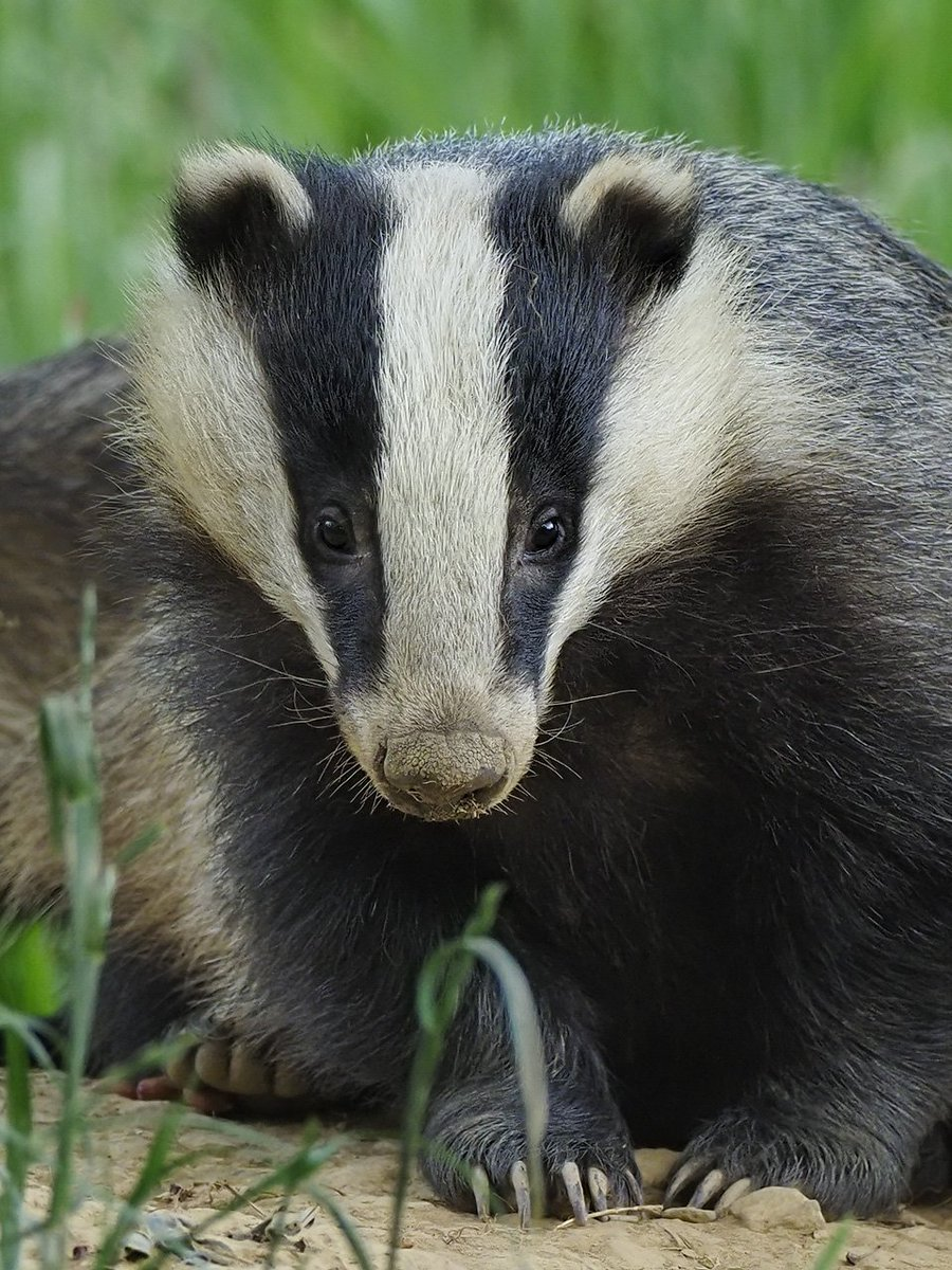 Ok thats been a day of badger love from everyone. We need badgers in our ecosystems and they need us to help them survive. Support @BadgerTrust and your local badger group! @SaveOurBadgers @Badger_Friendly @DerbyshireBEVS #badgers @WoodlandTrust @OxonBadgers