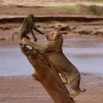 Image for the Tweet beginning: Close encounter between a baboon