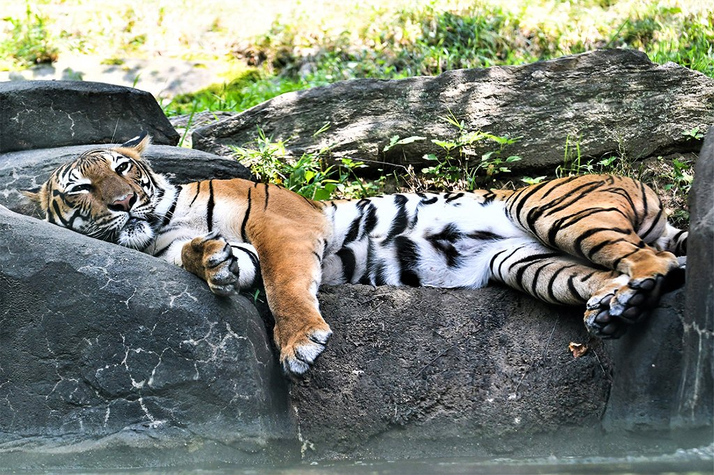 Feeling lazy this Monday? Do your best big cat impression, lay back, and relax! It takes patience to get the perfect photo op. Read about this one on #WCSWildView. blog.wcs.org/photo/2019/09/…