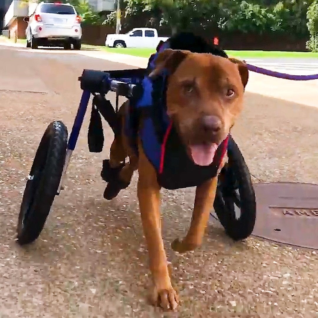 This dog is SO excited to finally have wheels — now all he needs is a family!