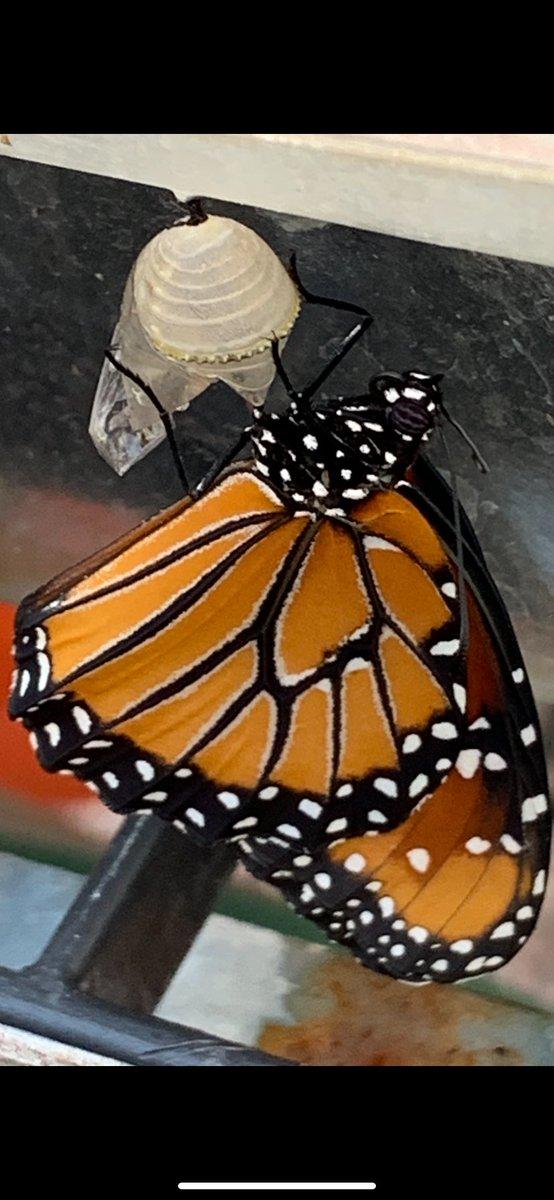 Beauty of nature #queenmonarchbutterfly 🐛🦋 @ASFMELEM https://t.co/bJhWEYyi1h