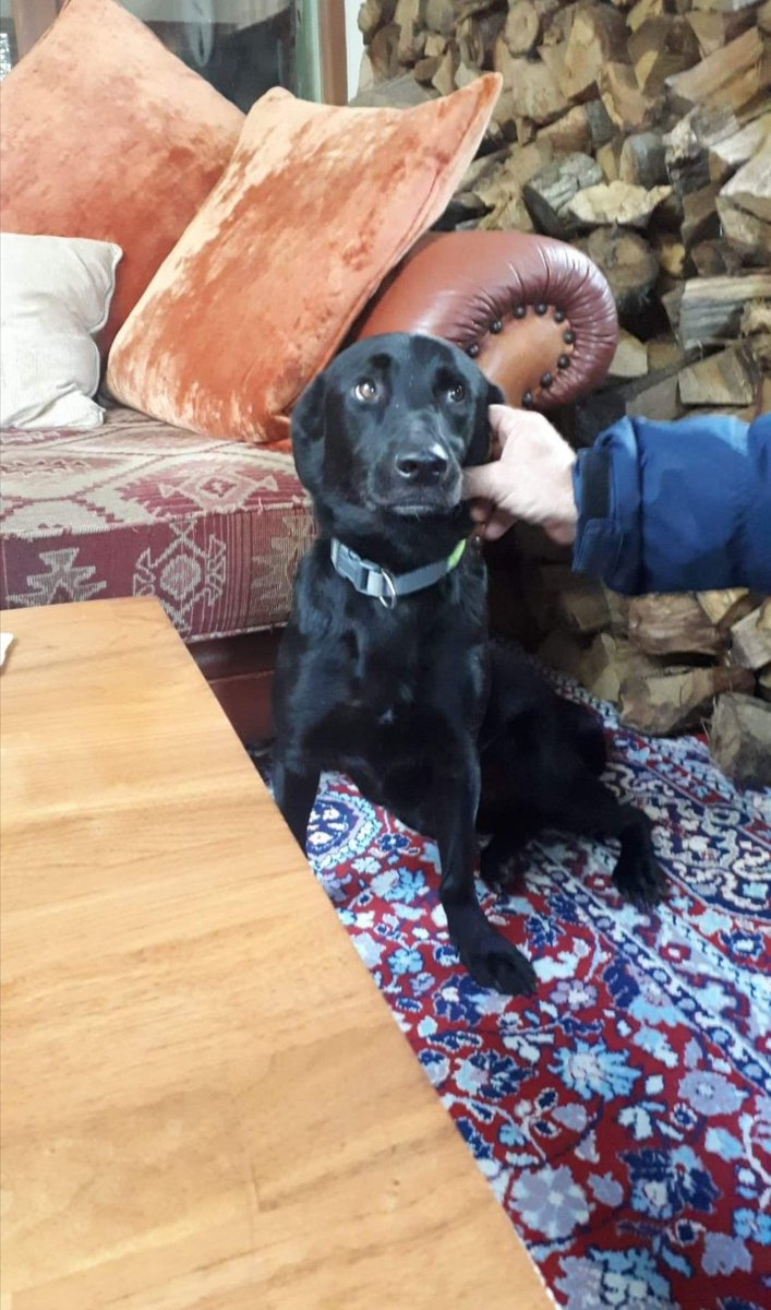 Sometimes, for whatever reason, we have a dog that doesn't attract any real interest. This is the case with Beatie, who's been in UK foster (Dorset) since the end of August. Beatie is flourishing in a home environment; he's good with kids & housetrained! Please DM. Someone... <br>http://pic.twitter.com/I0BdUUZKz0