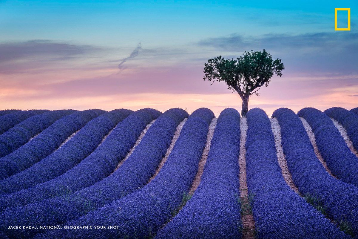 #YourShotPhotographer Jacek Kadaj captured this moment of endless rows of scented flowers in the lavender fields of the French Provence near Valensole, France. https://on.natgeo.com/2LY64bL