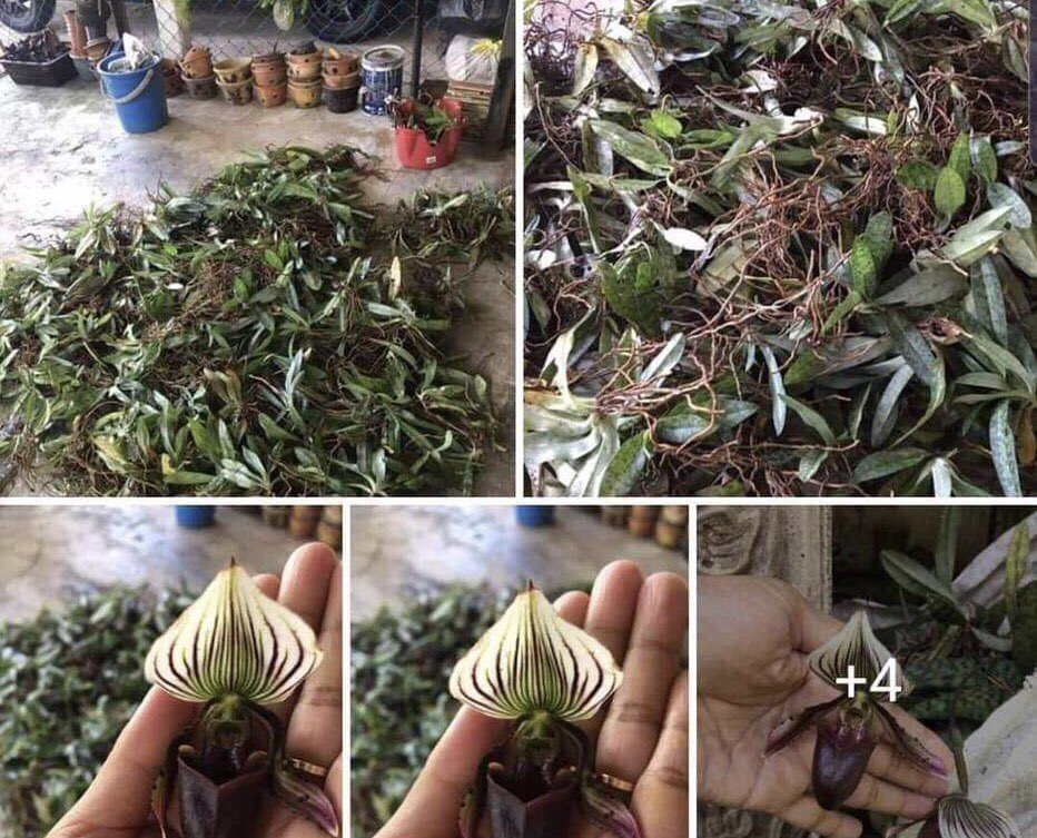 Hundreds of @IUCN Endangered #orchid species for sale on #Facebook last month.  This collector, vacuuming up Paphiopedilum barbatum in #Malaysia's Northern Terengganu State, is part of the vast social media trade in wild orchids.  #WeAreSSC #SSCLeadersMeeting2019<br>http://pic.twitter.com/xhawPYlWwf
