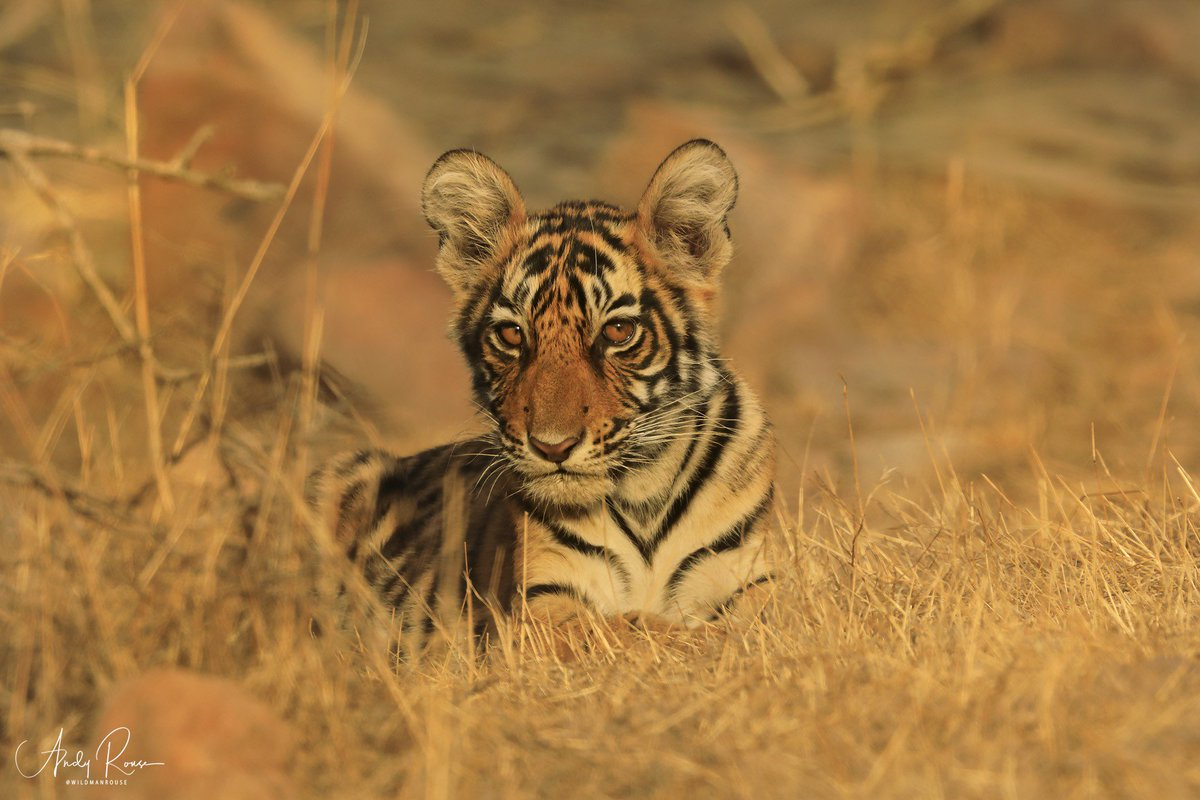 Check out my very personal BLOG about the sad death of a tiger I have followed since birth. Its a celebration of his life through great pictures and a memory for all who have seen him. bit.ly/31ZwO0U @PantheraCats #tiger #ranthambhore @adityadickysin @ConserveWildCat