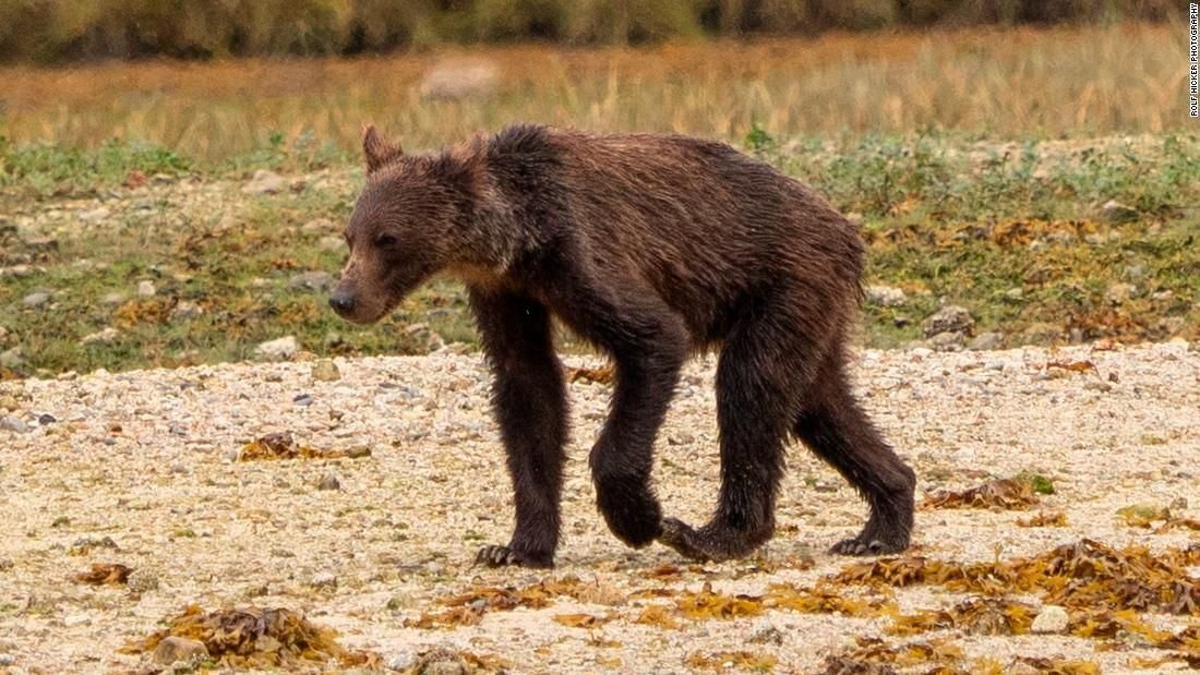 Canada is warming 2X faster than the rest of the world. These emaciated bears, the salmon they eat, are all warning signs of a planet in peril: buff.ly/2oNoqmh No time to wait, No planet B. #ActOnClimate #Climate #energy #cdnpoli #bcpoli #rewilding #nature #GreenNewDeal