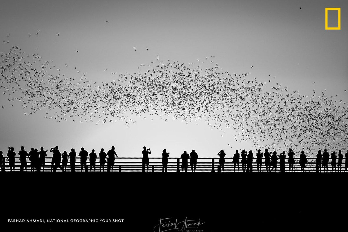 """""""Each spring, the largest urban bat colony comes back to their spring and summer home under the Congress Avenue Bridge in Austin, Texas,"""" writes #YourShotPhotographer Farhad Ahmadi. """"This colony is a beloved part of the Austin community."""" https://on.natgeo.com/324VNA8"""