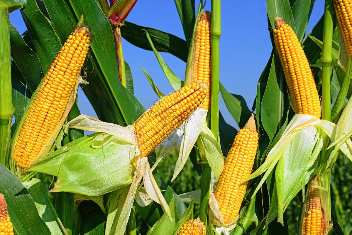 картинка кукурузы в жару их, заметил несколько