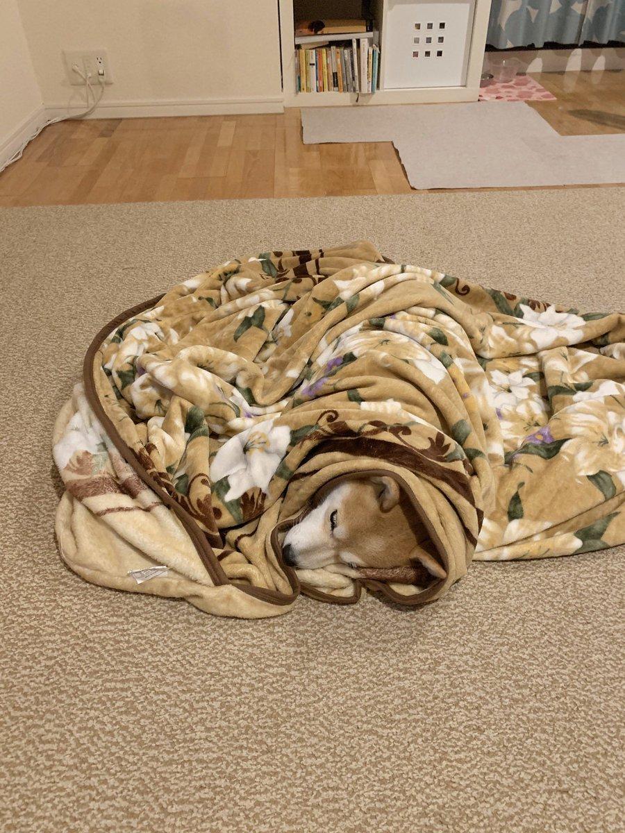 犬を毛布でくるんでみた。悪くはない様子だった。