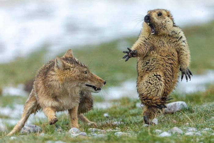 「チベットギツネに脅されるマーモット」の写真が秀逸すぎるww
