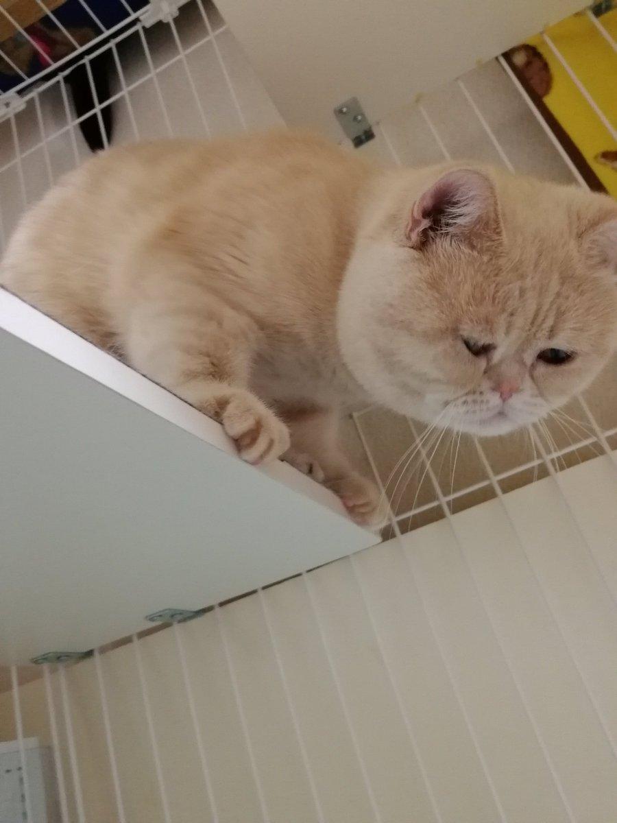 トイレ掃除監督?そこ、ほらそこも、こっちも、いやそこやそこ!!#猫好きさんと繋がりたい #猫のいる暮らし #CAT#エキゾチックショートヘア