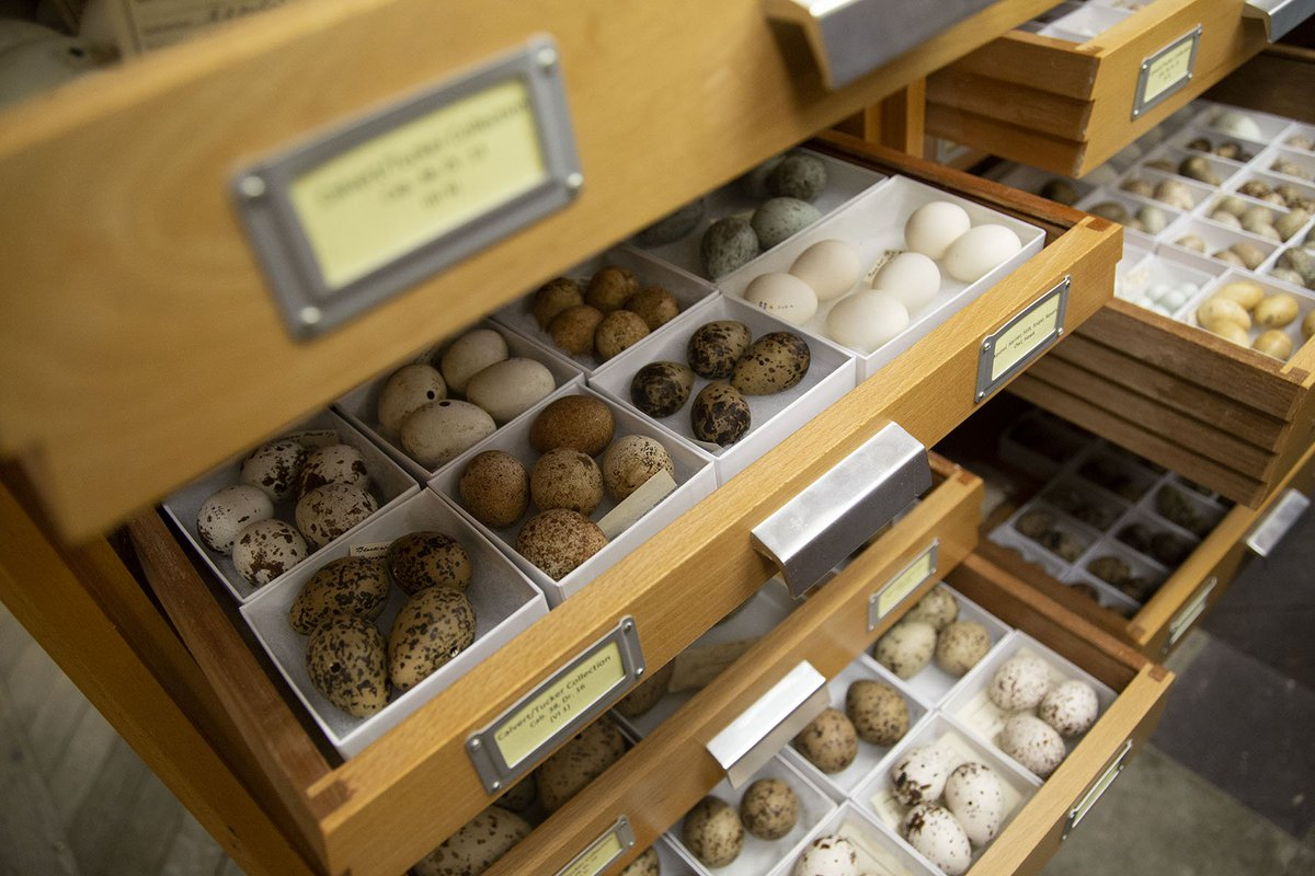 @eileen_westwig @HumboldtUni @AMNH My role as the zoology collections manager sits within the Life Dept. where we house ~180k specimens (not including insects). Collections include taxidermy, flat skins, skeletons, full animals, dissected parts preserved in fluid, microscope slides, a large egg collection & more!