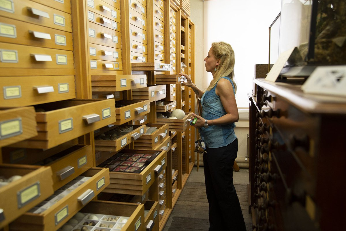 @eileen_westwig @HumboldtUni @AMNH Q: What attracted you to a job @morethanadodo? A: I particularly enjoy the history that is attached to the museum & its collections & that we can trace back our specimens in zoology to the 17th century!