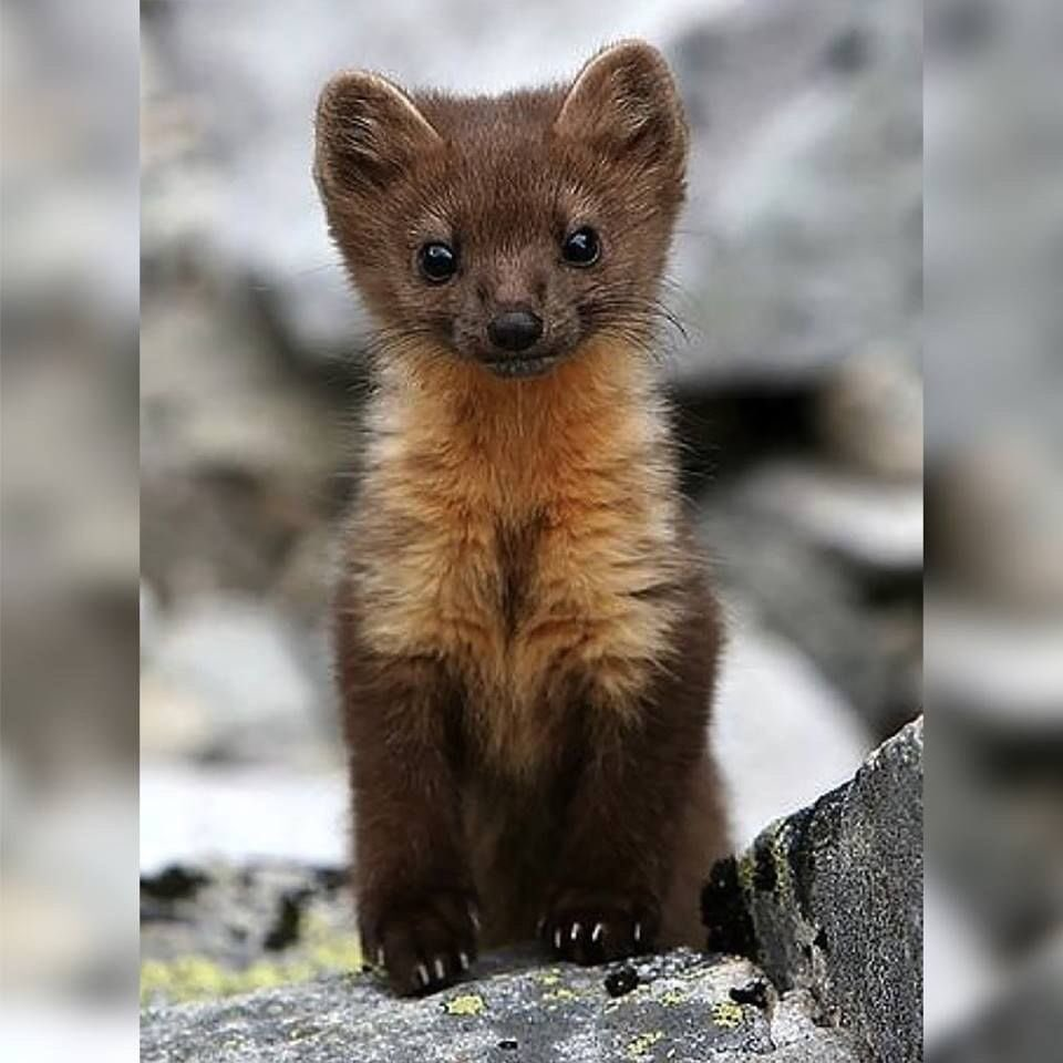 Actual weasel. Much more adorable.