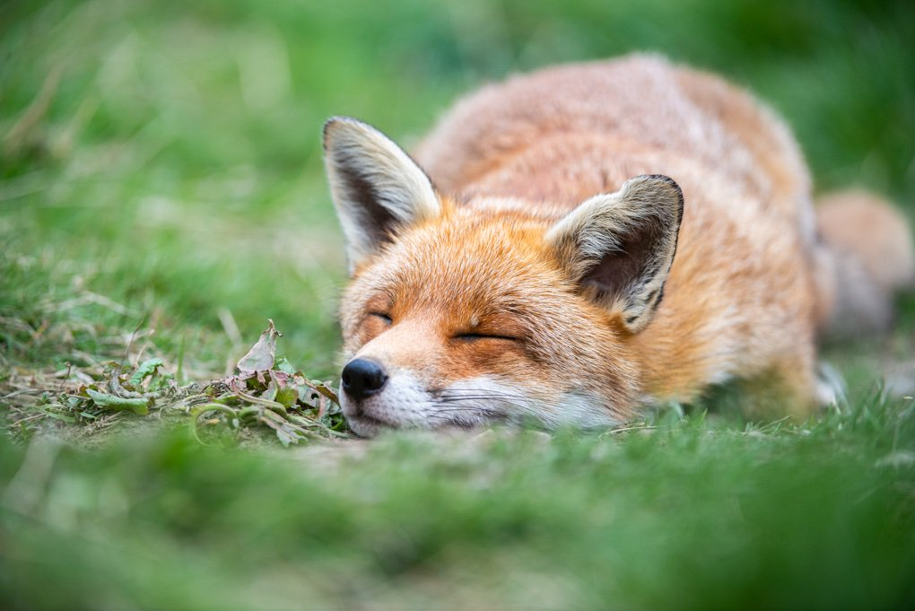 So pleased to hear the Atherstone Hunt has folded. Massive credit to @WestMidsSabs hopefully many foxes will now rest peacefully in the countryside where this despicable hunt once operated.