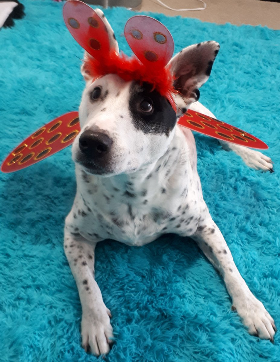 How about a ladbug? (Not lady) #Ladybug #ladybugMask #Dog #cutedog #PicOfTheDay #pictures #Terrier #Staffy #Aussie #australiagotgame #Australia #adorable #beautiful #beauty #handsome #CutenessOverload #cuteness #manlyfashionchoices #LOL #ShareTheLove #Share