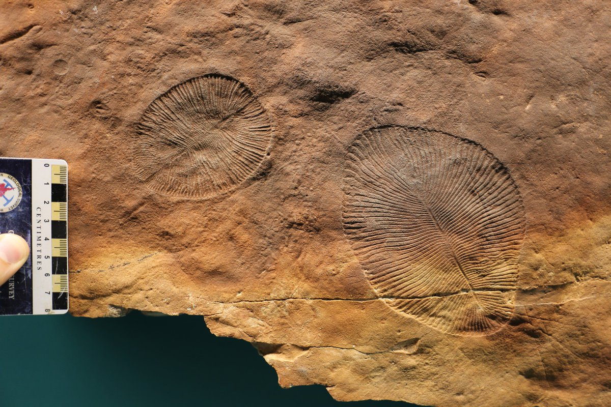@Frankie_Dunn_ @DiscoveryGEONL @TheRooms_NL These finger-print like Dickinsonia specimens lived in shallow water c.555 million years ago. We know that Dickinsonia was able to move because we find footsteps, often associated with these fossils. This makes Dickinsonia 1 of the 1st animals we know of that was able to move!